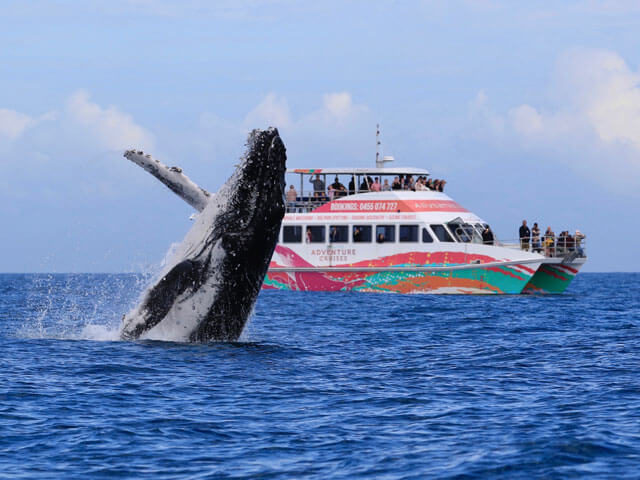 whale breaching near hervey bay