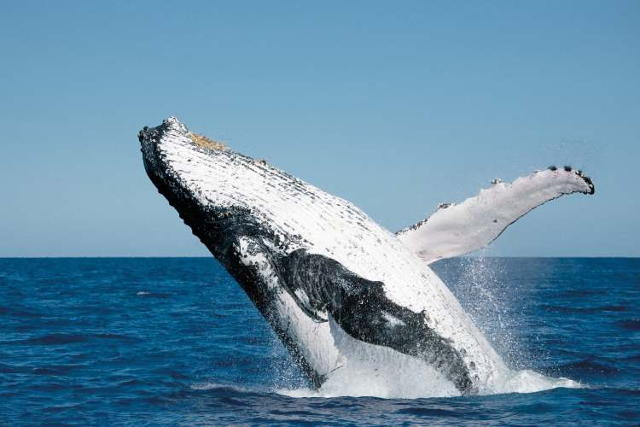 Kingfisher Bay Resort Whale Watching